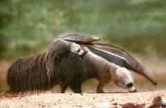 Bu hayvanın eti eşsiz! Satışı yasaktı 30 ton karıncayiyen bulundu