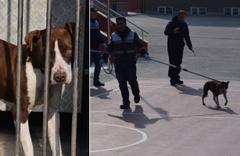 Bir anda okul bahçesine girip öğrencilere saldırdı! Çorum'da pitbull dehşeti