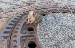 Rögar kapağına sıkışan aşırı şişman sıçan kurtarıldı