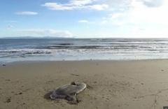 En son 1889 yılında görüldü! Karaya vuran deniz canlısı şaşırttı