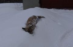 Kars'ta -20 dereceye dayanamayan tilki telef oldu