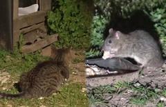 Fareler kedilerin yemeğine dadanınca bakın ne oldu