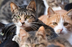 Belçika'da bazı kedi cinslerinin yetiştirilmesi yasaklandı