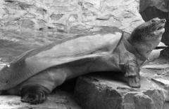 Yangtze kaplumbağası 90 yaşında öldü! Türünün bilinen son örneği