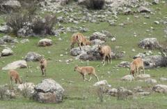 Dağ keçileri sürü halinde otlarken görüntülendi
