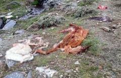 Manisa'da kamyonette 800 kilo at eti ile yakalandılar!