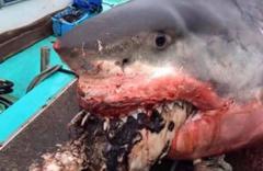 Dev beyaz köpekbalığı ağzında korkunç görüntüler