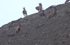 Vaşak'ın dağ keçisi sürüsüne saldırı anı kamerada