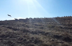 Erizncan'da Vaşak'ın dağ keçisi sürüsüne saldırı anı kamerada