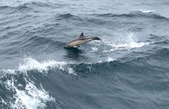 Yunus balıklarından görsel şov savaş gemileri ile yarıştı