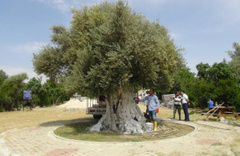 Cumhurbaşkanı Erdoğan'ın bahsettiği o ağaç! Tam 1300 yaşında