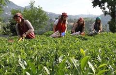 2019 yılı yaş çay alım fiyatı açıklandı