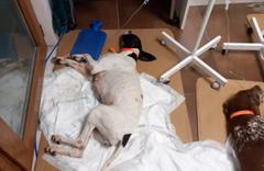 Sarıyer'de köpekleri salyangoz zehriyle zehirlediler ünlü isimlerden tepki yağdı