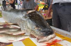 Erzincan'da Fırat Nehri'nde oltaya 83 kiloluk dev Turna balığı takıldı