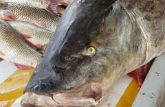 Erzincan'da dev turna balığı şaşkına çevirdi
