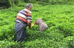 ÇAYKUR, Ramazan Bayramı'nda da yaş çay alacak