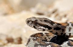 Nesli tükenmekte olan yılan Nemrut Dağı'nda görüldü