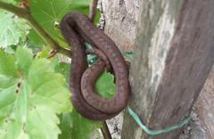 Ordu'da Avusturya yılanı ortaya çıktı görenler şok oldu kaldı