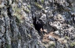 Uçurumda mahsur kalan 2 keçi 5 gündür kurtarılmayı bekliyor