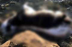 Kastamonu sahiline ölmüş büyükbaş hayvan vurdu