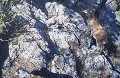 Burdur'da yaban keçisi ve yaban kedisi fotokapana yakalandı