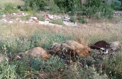 Ankara'da elektrik kablosuna basan 10 koyun telef oldu