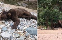 Giresun'da dere kenarına inen ayının bu kez cansız bedeni bulundu