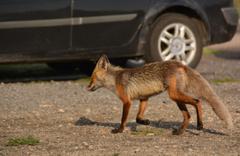 Aç kalan yaban hayvanlarının yiyecek arayışı kameraya yansıdı