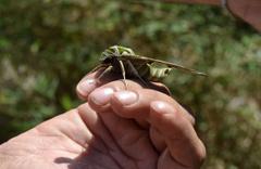 Manisa'da bitkin halde bulundu türünün en hızlısı yalnızca gece uçabiliyor