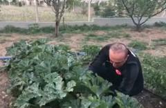 Mevlüt Çavuşoğlu hasat için bahçeye girdi