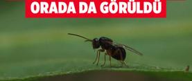 Doğu Karadeniz'de ilk kez görülen katil arı için biyolojik mücadele