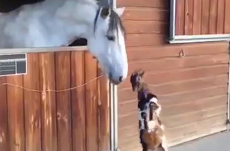 At ile arkadaşlık kurmaya çalışan sevimli yavru keçi