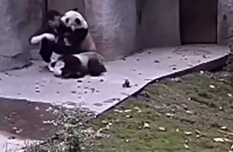 İlaç istemeyen pandalar bakıcısına böyle direndiler