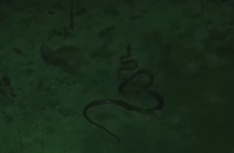 Survivor'da Ünlüler'e yılan şoku!