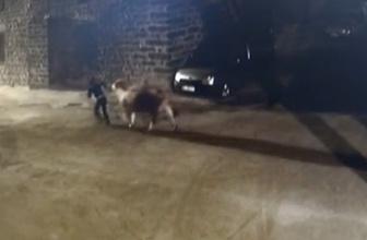 Tek geçim kaynağı ineklerini çaldılar!