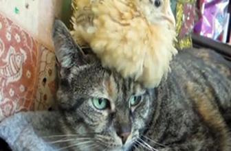 Kedi ve civcivin sevimli halleri!