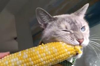 Mısır yemeye bayılan kedi