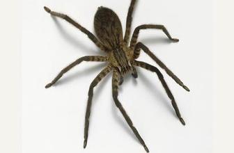 Örümcek ısırdı 12 şişe panzehirle kurtarıldı