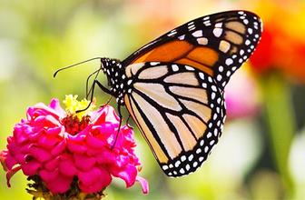 Türkiye'den en çok orkide ve kelebek çalınıyor