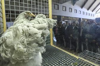 Süs tavukları görücüye çıktı Türkiye'de bir ilk!
