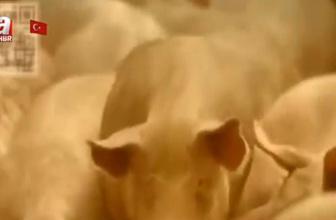 Jelatin domuzdan mı üretiliyor?