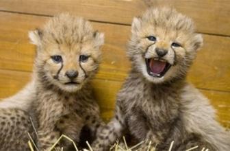 Yeni doğmuş çita yavrularıyla tanışın