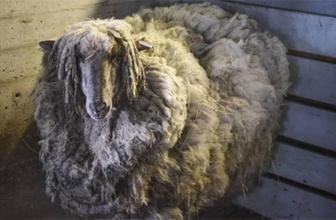 Tıraş olunca 38 kg yün çıkan koyun