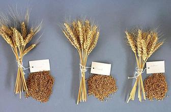 4 yeni milli tohum daha