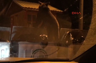 Uludağ'da aç kalan yavru ayı çöp konteynerlerinden yiyecek aradı