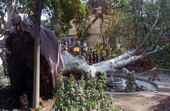 Çengelköy'deki asırlık çınar vinçlerle kaldırılarak restore edilecek