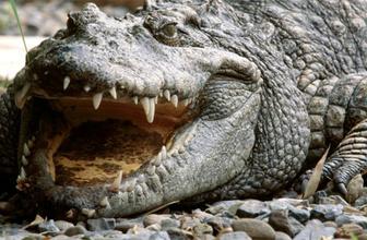 Dev timsahların T-Rex benzeri dev dişleri varmış