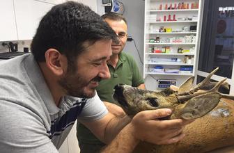 Köpeklerin saldırısında yaralanan karaca tedavi edildi