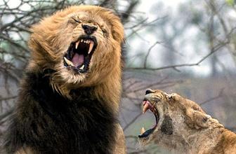 Kenya'da aslanlar bir kişiyi parçaladı