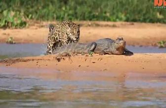 Jaguar timsahı öyle bir avladı ki!